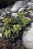 Helleborus argutifolius (syn. H. lividus ssp. corsicus)