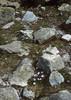 Crocus corsica