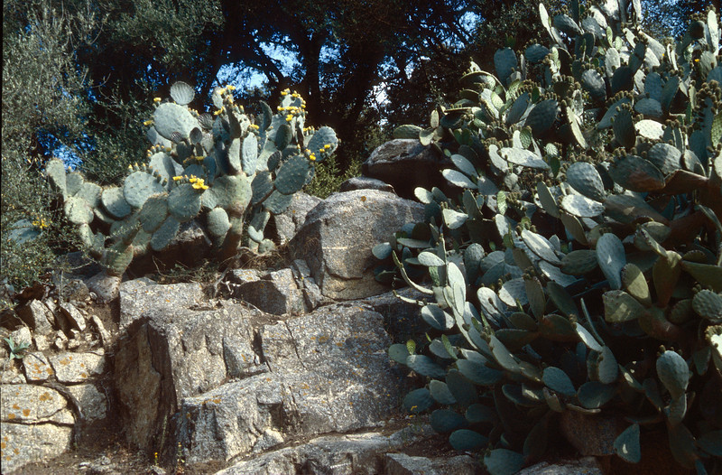 Opuntia ficus indica, (NL: barbarijnse vijg)