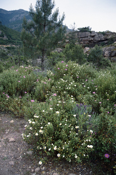 Cistus salvifolius(white) and C. albidus (pink)