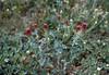 Trifolium alexandryum (near Vilitosa)