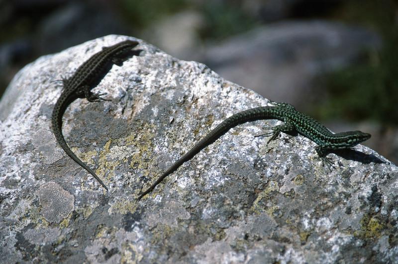 Podarcis sicula (Italian wall lizard) near Bergerie de Ballone 1440m
