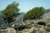 Fagus sylvatica (windshaped) Bocca San Pedru 1452m