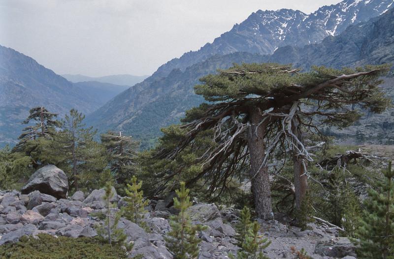 Pinus nigra ssp. laricio, near Monte Cinto 2710m