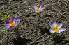 Crocus sieberi  ssp. nivalis, Ascending-Profitis Ilias 2407m, highest summit, Taigetos mountains v.v. (SW of Sparti)