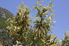 flowering Quercus ilex, 5km NE of Kalamata