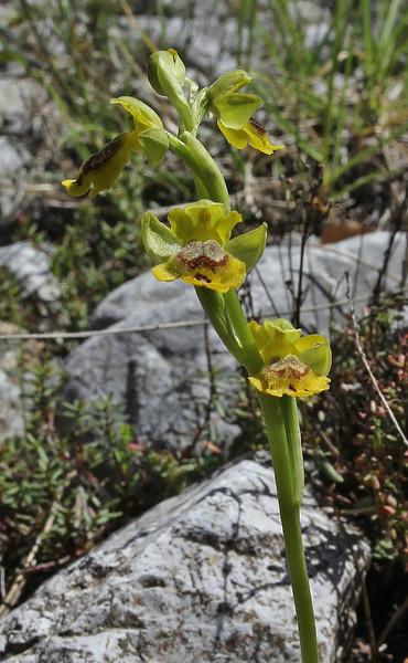 Ophrys sicula, near Styx river, Mount Helmos 2341m, SE of Kalavrita
