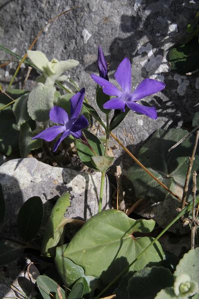 Vinca  herbacea, mountain 1000m SW of Lambokambos