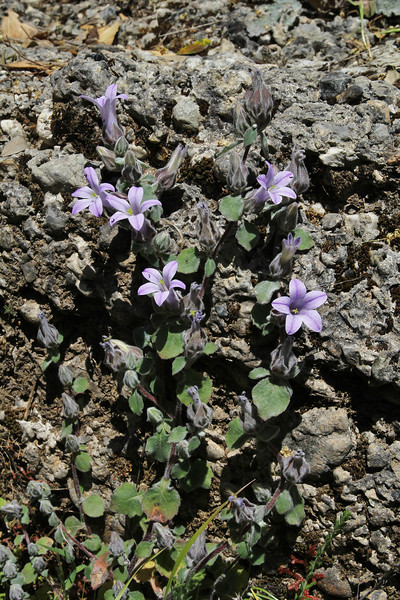 Campanula topaliana ssp. topaliana, Mili Gorge, N of Kambos,  Kalathio mountains, Mani,