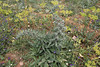 Echium italicum, Lambokambos, foothills of Madara mountains