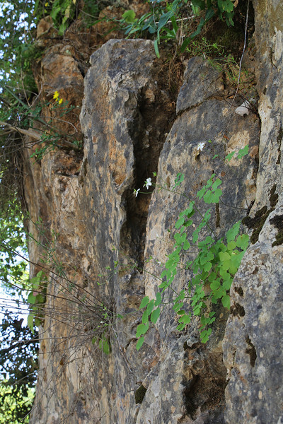 Thalictrum orientale, Mili Gorge, N of Kambos,  Kalathio mountains, Mani,