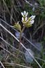 Saxifraga carpetana ssp. graeca, Lagada pass, beyond Artemisia, Kalamatra-Sparti