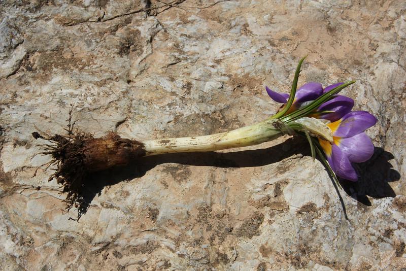 corm of Crocus sieberi ssp. sublimis, (only for ID purpose), Mount Helmos (Chelmos) 2341m