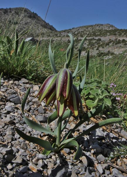 Fritillaria graeca ssp. guicciardii, 1500m, at Mount Menalo 1980m, N of Tripoli