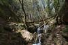Habitat of Saxifraga chrysosplenifolia, Pass, Mistra-Artemisia, W of Sparti