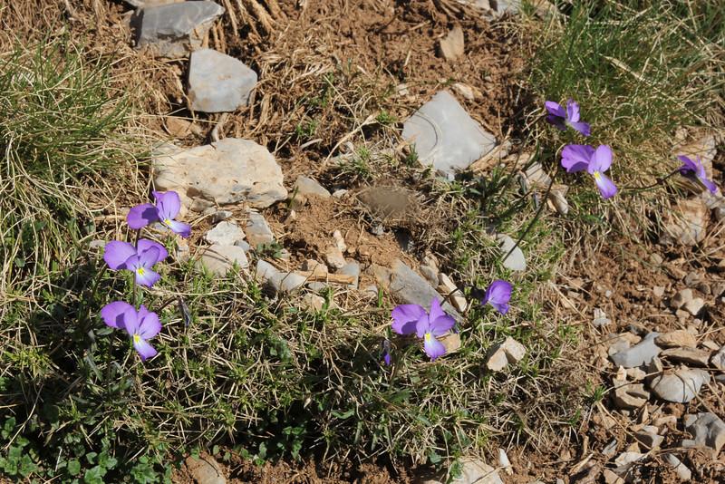 Viola graeca, Mount Helmos (Chelmos) 2341m
