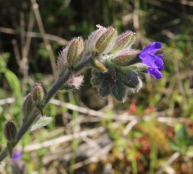 Anchusa officinalis, Mili Gorge, N of Kambos,  Kalathio mountains, Mani,