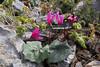 Cyclamen peloponnesiacum ssp. vividum, mountains SW of Lambokambos