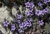 Campanula topaliana ssp. topaliana, Byzantine site, Mistras, W of Sparti
