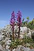 Orchis quadripunctata, mountain 1000m SW of Lambokambos