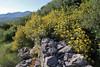 Phlomis fruticosa, before Lagada Pass, Kalamata-Sparti