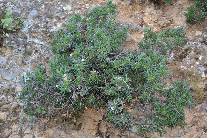 Lithodora zahnii, S of Mili Gorge, N of Kambos,  Kalathio mountains, Mani,
