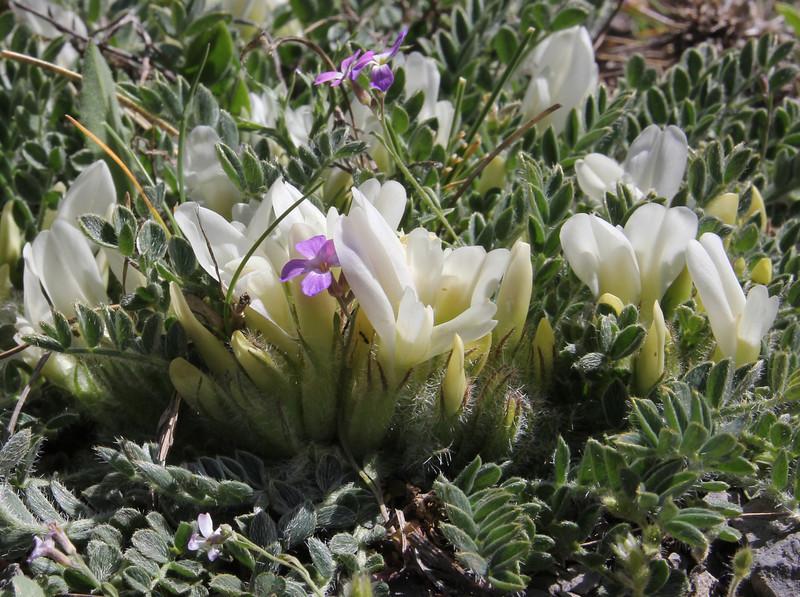Astragalus sirinicus, 1300m, near Mount Menalo 1980m, N of Tripoli