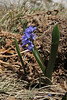Scilla bifolia, Ascending-Profitis Ilias 2407m, highest summit, Taigetos mountains v.v. (SW of Sparti)