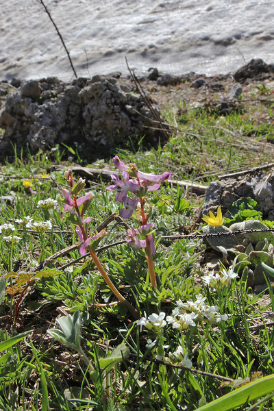 Corydalis solida ssp. incisa, Mount Helmos (Chelmos) 2341m