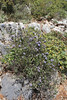 Globularia alypum, mountains SW of Lambokambos