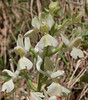 Orchis provincialis, Pass, Mistra-Artemisia, W of Sparti