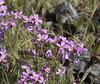 Malcolmia flexuosa, mountains SW of Lambokambos