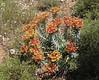 Euphorbia rigida, Sparti-Geraki