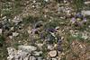 Anemone apennina ssp. blanda, Mount Helmos 2341m, SE of Kalavrita