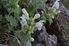 Lamium garganicum, light coloured form, Trailhead near M.Panagias-Profitis Ilias 2407m highest summit, Taigetos mountains v.v. (SW of Sparti)