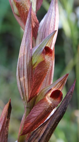 Serapias cf. orientalis, S of Mili Gorge, N of Kambos,  Kalathio mountains, Mani,