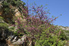 Cercis siliquastrum and Euphorbia dendroides, before Lagada Pass, Kalamata-Sparti