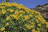Euphorbia dendroides, flowering, 8km from the coast, Molai-Skala