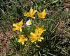Ranunculus cf. millefoliatus, Mount Helmos (Chelmos) 2341m
