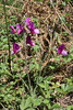 Lathyrus digitatus, Trailhead near M. Panagias-Profitis Ilisa 2407m highest summit, Taigetos mountains v.v. (SW of Sparti)