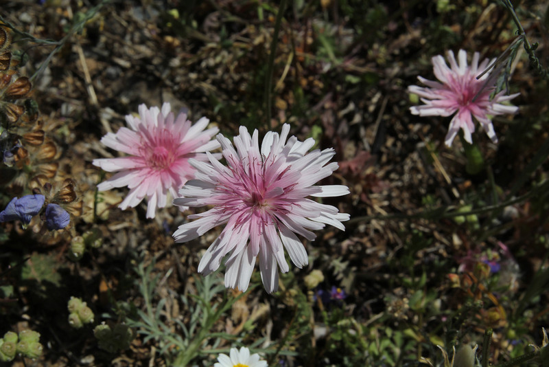 Crepis rubra, deficient in lime, Sparti-Geraki