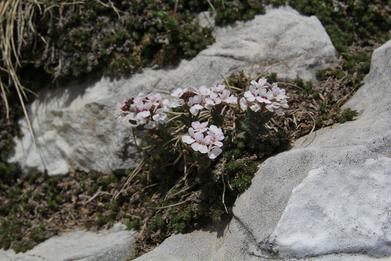 Aethionema carlsbergii, Ascending-Profitis Ilias 2407m, highest summit, Taigetos mountains v.v. (SW of Sparti)