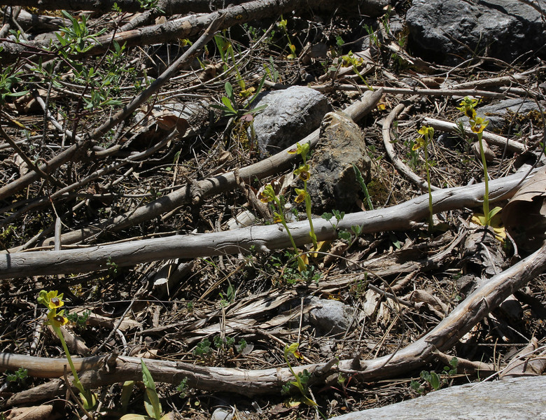 Ophrys lutea  ssp. sicula, position flower horizontal, near Styx river, Mount Helmos 2341m, SE of Kalavrita