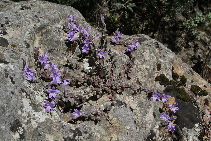 Campanula topaliana ssp. topaliana, Mili Gorge, N of Kambos,  Kalathio mountains, Mani,