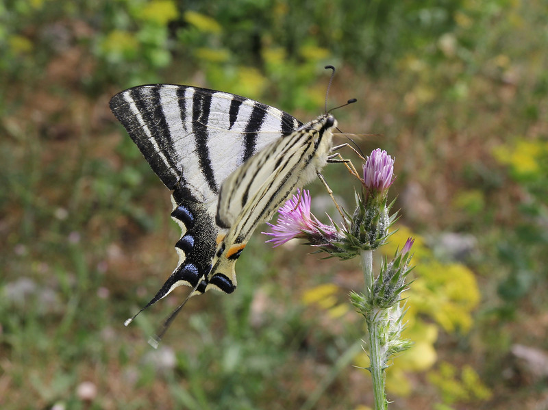 Iphiclides podalirius, (NL: Koningspage) Lambokambos, foothills of Madara mountains