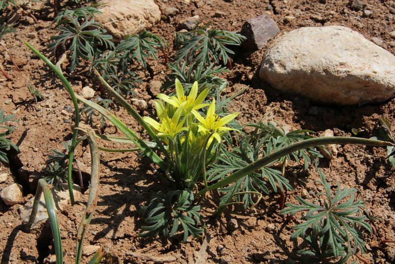 Gagea spec., Mount Helmos (Chelmos) 2341m