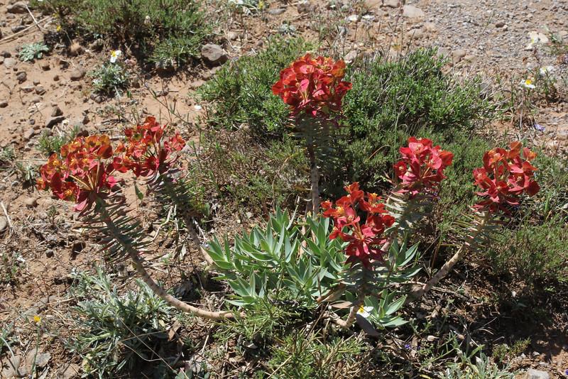 Euphorbia rigida, deficient in lime, Sparti-Geraki