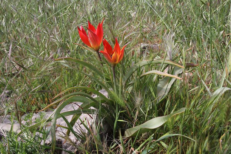 Tulipa goulimyi, mountains SW of Lambokambos