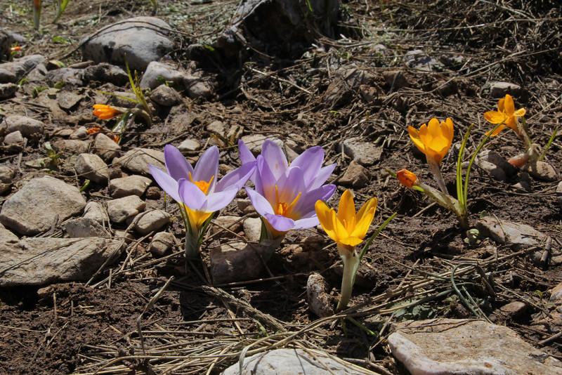 Crocus sieberi ssp. sublimis and the bright yellow Crocus olivieri, Mount Helmos (Chelmos) 2341m