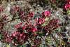 Anthyllis vulneraria, red coloured form, Kalavrita-Diakofto (Gulf of Corinth)